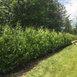 Ceder Hedge